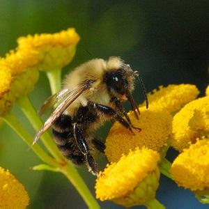 Bumblebee sitting on yellow flowers